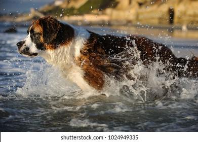 Saint Bernard dog outdoor portrait at beach running into the ocean
