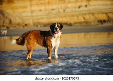 Saint Bernard dog outdoor portrait at beach