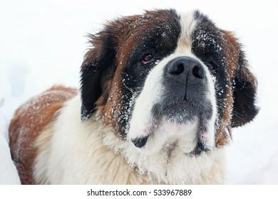 Saint Bernard dog portrait in winter