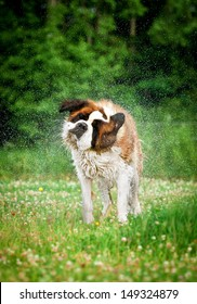 Saint bernard dog shaking off water