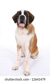 Saint Bernard dog sitting against a white background.