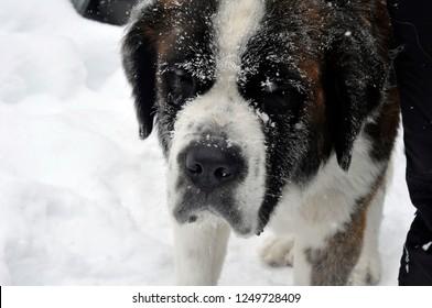 Saint Bernard dog - snowy winter portrait front