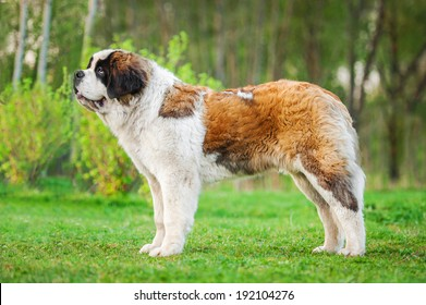 Saint bernard dog standing on the lawn