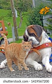 Saint Bernard Dog watching  as Ginger tabby Cat walking by, ignoring him.