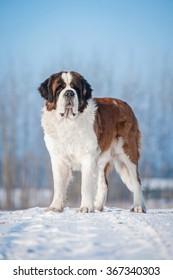 Saint bernard dog in winter