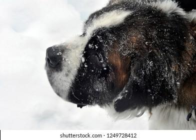 Saint Bernard dog - winter closeup portrait on white snow background