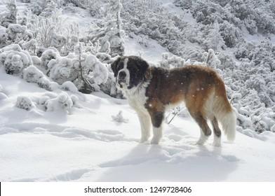 Saint Bernard dog - winter portrait on snowy mountain background