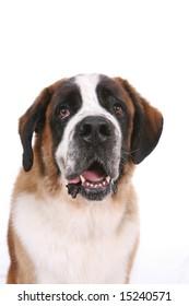 Saint Bernard dog's head and chest