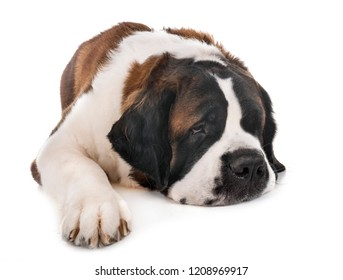 saint bernard in front of  white background