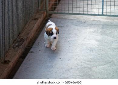 Saint Bernard little puppy at breeding kennel, Martigny, Switzerland