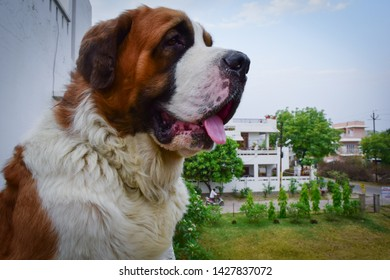Saint Bernard Naughty looking for some company to play
