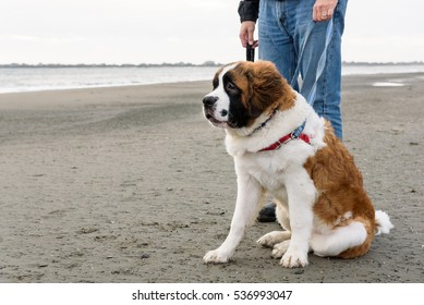 Saint Bernard on the beach waiting with person