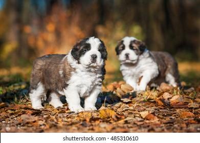 Saint bernard puppies in autumn