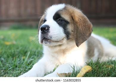 Aimée, a Saint Bernard puppy