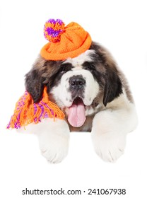 Saint bernard puppy dressed in warm knit hat and scarf