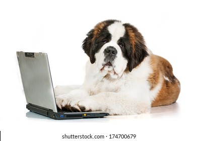 Saint bernard puppy in front of a laptop isolated on white background
