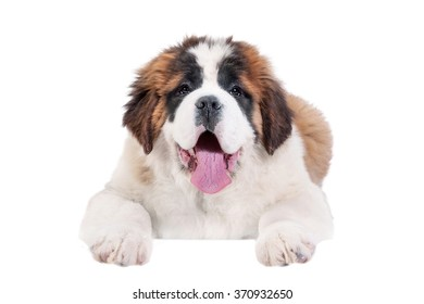 Saint bernard puppy hanging its paws over a white banner or sign