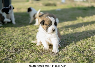 Saint Bernard puppy at her early age