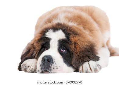 Saint bernard puppy looking up