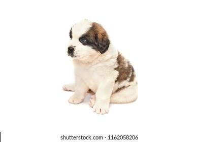 Saint bernard puppy lying isolated on white