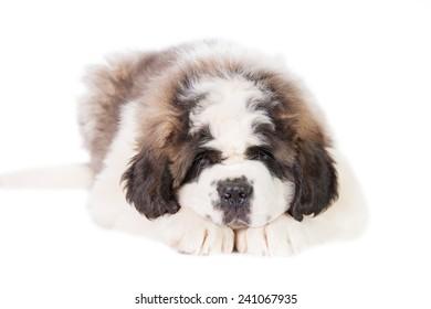 Saint bernard puppy lying isolated on white background