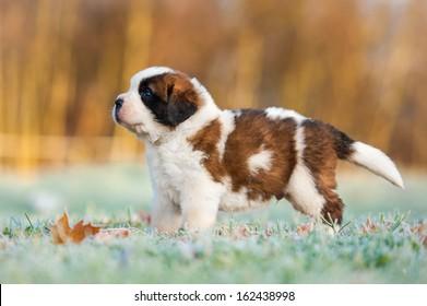 Saint bernard puppy in the morning in winter