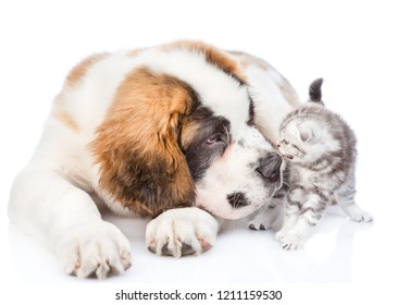 Saint Bernard puppy sniffing scared kitten. isolated on white background