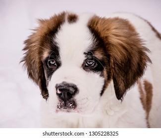Saint Bernard Puppy In The Snow