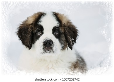 Saint Bernard Puppy In Snow