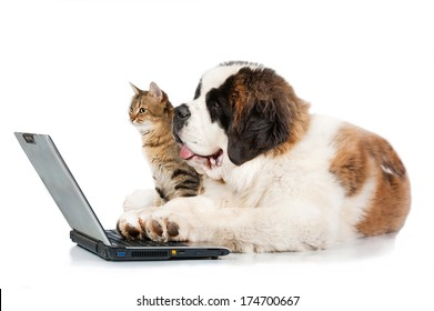 Saint bernard puppy with tabby cat in front of a laptop isolated on white background
