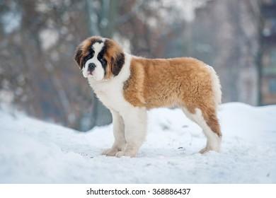 Saint bernard puppy in winter