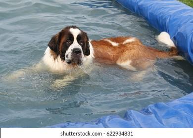 saint bernard take a bath in the pool