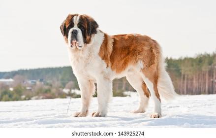 Saint bernard in winter