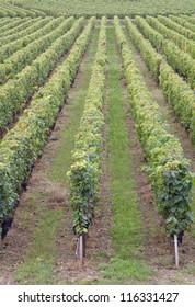 Saint Emilion vineyard near Bordeaux, France
