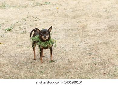 Saint Jonas' or Dew Holiday Festival (Rasos svente, Jonines, Midsummer Day or Saint John's Day) is a midsummer folk festival celebrated on June 24 all around Lithuania. Vilnius, 23 june 2018.  Dog