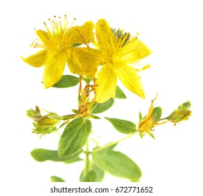 Saint Peter's wort yellow flowers (Hypericum tetrapterum) isolated on white background
