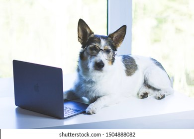 Saint Petersburg / Russia - 08.10.2019: A sad dog sits by a laptop, a terrier is resting in front of a macbook. Puppy with glasses on a white background by the window. Serious dog in a business.