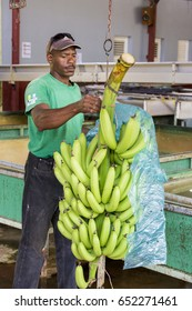Sainte Marie, Martinique - April 12, 2017. Farmer cut bananas bunch, at different steps, before cleaning bananas