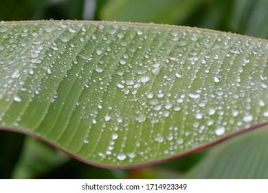Sainte-Marie, Martinique, France, August 26, 2013: Banana leaf after the rain
