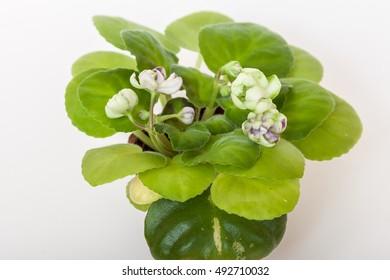 Saintpaulia varieties TV-Jewel of the Nile T.Vysota with beautiful flowers of unusual shape