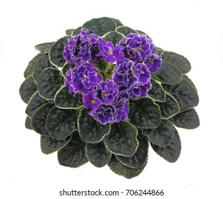 Saintpaulias, commonly known as African violet, is a flowering plants in the family Gesneriaceae. Potted plant. White background.