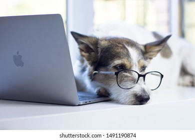 Saint-Petersburg / Russia - 08.10.2019: A sad business dog with glasses, a terrier is resting in front of a laptop macbook on a white background in puppy near the window.