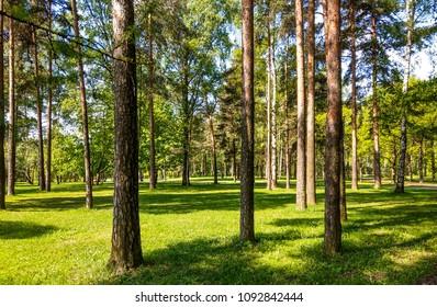 SAINT-PETERSBURG, RUSSIA - Spring pine trees in forest park spring landscape, Saint-Petersburg, Russia