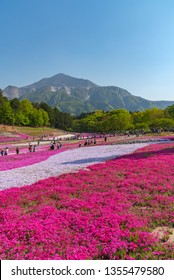 SAITAMA, JAPAN - APR 21, 2018: View of Pink moss (Shibazakura, Phlox subulata) flower at Hitsujiyama Park. The Shibazakura festival in Chichibu city, Saitama, a famous tourist destination in Japan.