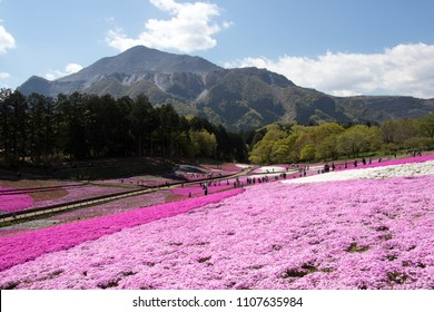 SAITAMA JAPAN - APR 28, 2017: Pink moss (Shibazakura, Phlox subulata) flower at Hitsujiyama Park in Saitama Prefecture, Kanto area, Japan. This is the famous place for tourist attraction.