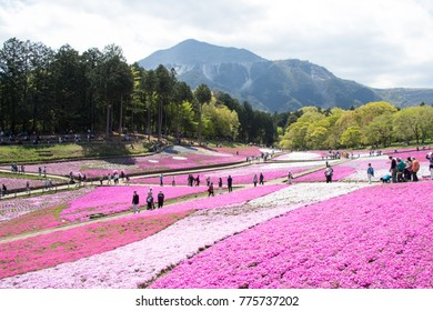 SAITAMA JAPAN - APR 28, 2017: Pink moss (Shibazakura, Phlox subulata) flower at Hitsujiyama Park in Saitama Prefecture, Kanto area, Japan. This is the famous tourist attraction.