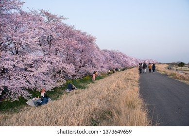 Saitama, Japan - April 6, 2019: People in Kumagaya Arakawa Ryokuchi Park in the spring with cherry blossom , Saitama, Japan. Kumagaya Arakawa Ryokuchi Park is cherry blossom spot in Japan spring