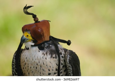 Saker falcon with leather head covering. The purpose of the hood is to hide the stimulus of the world from the bird's sight to calm or prevent the bird from reacting to things.