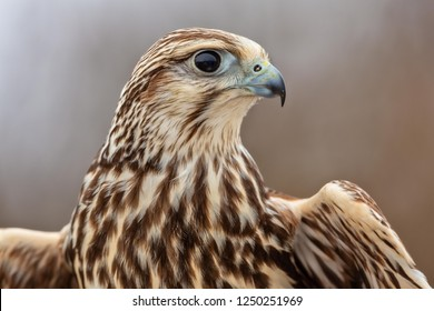 saker falcon portrait, majestic saker falcon, beautiful falcon close up