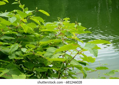 Sakhalin Knotweed or Fallopia sachalinensis in summer